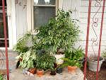 Plantes d'intérieur : mettez-les dehors !