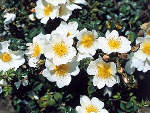 Rosier 'Rose du Soleil'