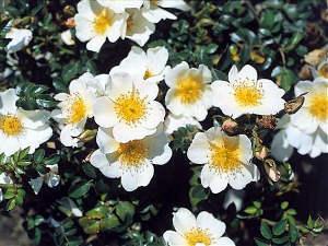 Rose du Soleil : un rosier Sans contraintes ®