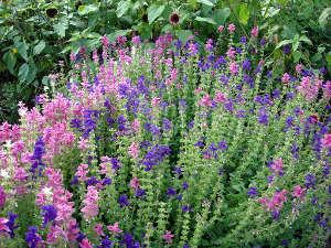 Sauges annuelles semis culture cultivar for Plante arbustive fleurie