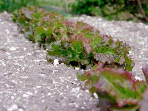 Des salades pour l'été : elles résistent à la chaleur et à la sécheresse