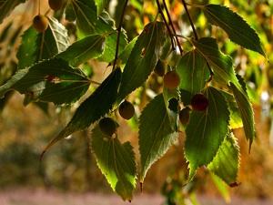 Celtis australis - Fruits