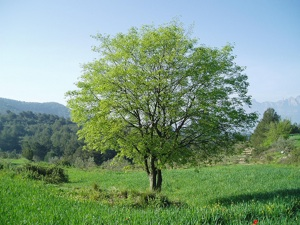 Micocoulier : Plantation, Entretien, Culture
