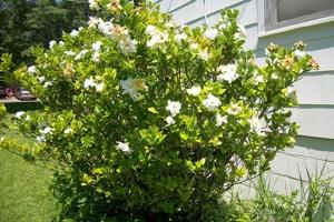 gardenia culture entretien multiplication. Black Bedroom Furniture Sets. Home Design Ideas