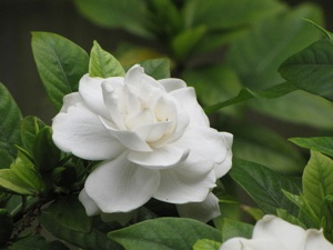 Gardenia à fleurs doubles