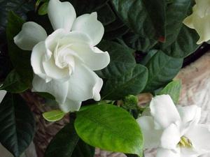 plante interieur fleur blanche