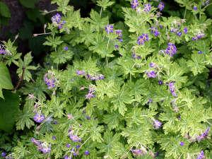 Geranium phaeum 'Margaret Wilson'