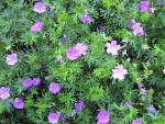 Géranium vivaces : les meilleures espèces et variétés