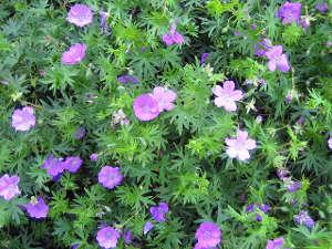 Géraniums vivaces : les meilleurs espèces, cultivars ou variétés