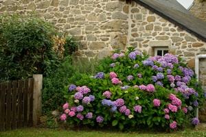 Hortensia- Bretagne