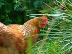 Basse-cour : quels avantages pour le jardinier ?