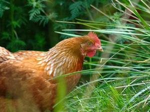 Poule au jardin