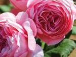 Anne-Sophie PIC, une nouvelle rose signée Guillot