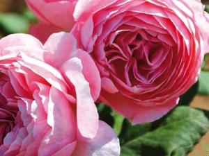 Nouveauté Guillot : Rose Anne-Sophie Pic