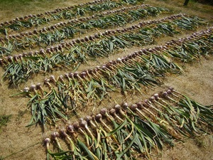 Ail echalote oignon conservation - Comment planter les oignons ...
