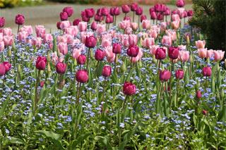 Tulipes et myosotis