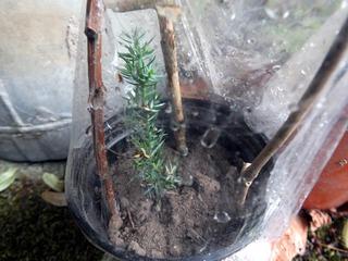 Bouture de Juniperus à l'étouffée