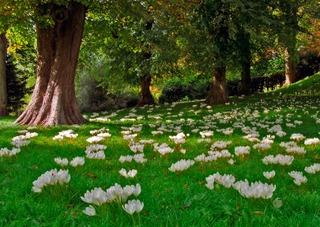Colchiques dans une pelouse