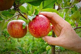 Pomme mûre pour la cueillette