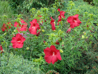 Hibiscus moscheutos - Massif