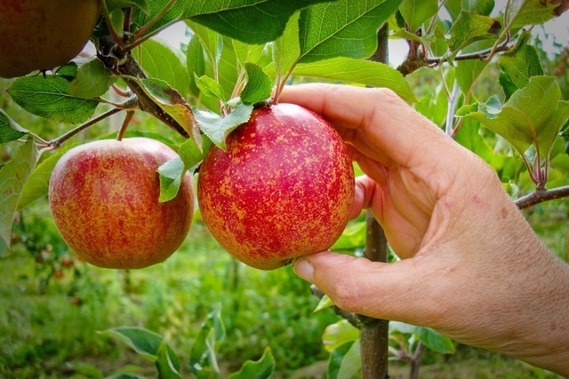 Bon Lundi Cueillette-pomme-mure