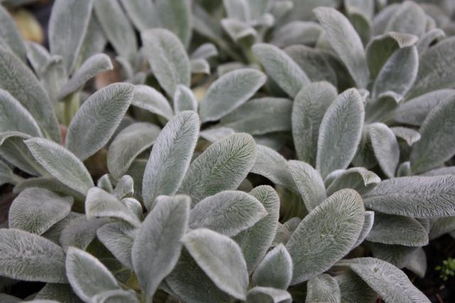 Plante feuillage poilu ou duveteux for Plante verte haute exterieur