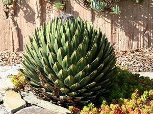 Agave culture multiplication hivernage especes - Agave du mexique ...