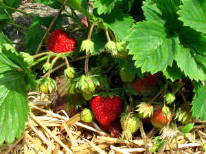 Paillage des fraisiers