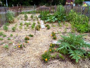 Paillage du sol dans le potager