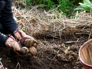 pommes de terre cultivées sous la paille