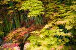 Diaporama : Erables du Japon : du merveilleux dans nos jardins