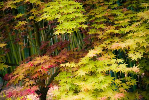 Erables du Japon: du merveilleux dans nos jardins (Erables du Japon : du merveilleux dans nos jardins)
