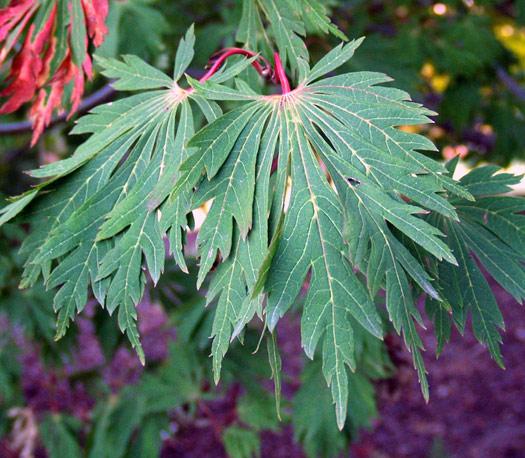 Acer japonicum 'Aconitifolium', l'érable à feuilles d'Aconit (Erables du Japon : du merveilleux dans nos jardins)