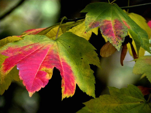 Un érable à feuilles de vigne? (Erables du Japon : du merveilleux dans nos jardins)