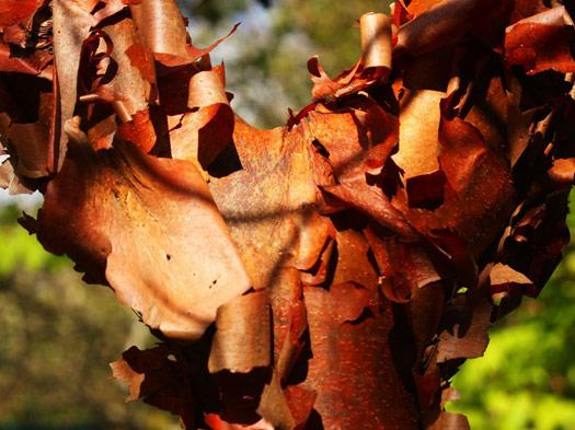 L'érable canelle (Erables du Japon : du merveilleux dans nos jardins)