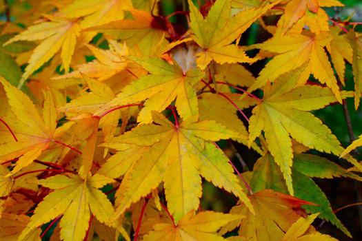 Plante coloris tout - L erable du japon ...