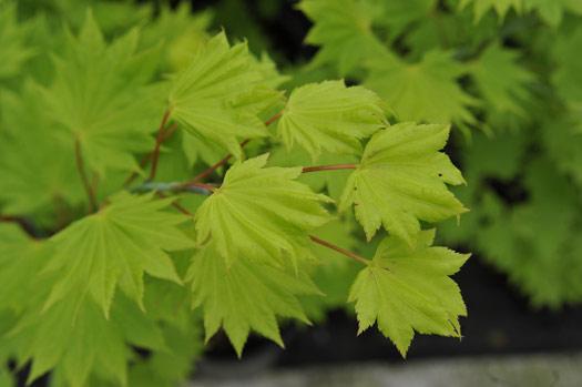 Acer shirasawanum 'Aureum' (Erables du Japon : du merveilleux dans nos jardins)