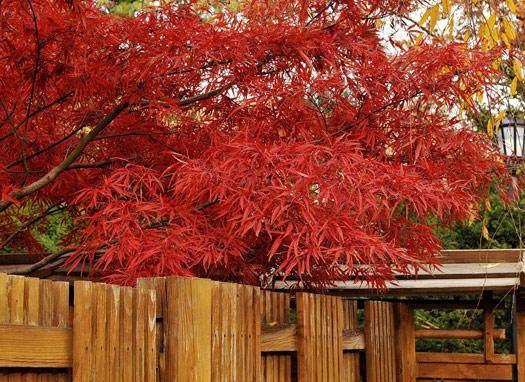 Acer palmatum 'Scolopendrifolium' (Erables du Japon : du merveilleux dans nos jardins)