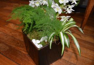 Asparagus plumosus, chlorophytum, dendrobium