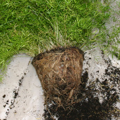 Asparagus densiflorus - Racines
