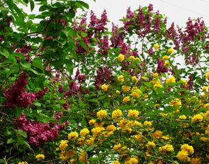 Corête du Japon et lilas