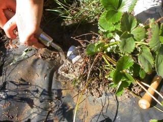 Fraisier : déterrage du pied à diviser