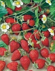 comment planter des fraisiers 4 saisons