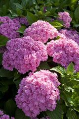 Hydrangea macrophylla You&Me 'Together'