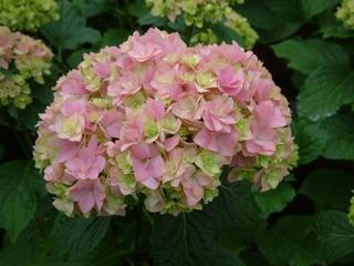 Hydrangea macrophylla You&Me 'Together'
