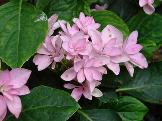 Hydrangea You and me 'Together'