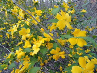 Kerria japonica - Fleurs simples