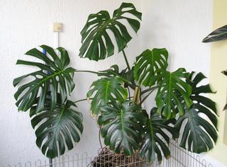 Philodendron (Monstera) : Culture, Entretien, Espèces