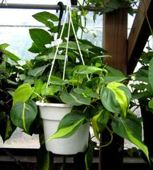 Philodendron 'Brasil' en suspension