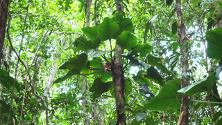 Philodendron fragrantissimum - Epiphyte